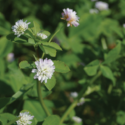 Persian Clover Green manure
