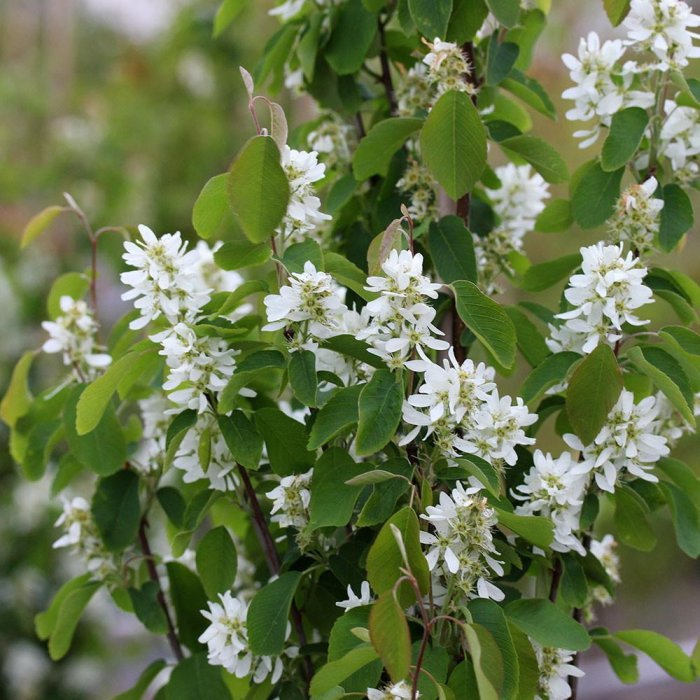 amelanchier alnifolia 39 obelisk 39 deelish garden centre. Black Bedroom Furniture Sets. Home Design Ideas