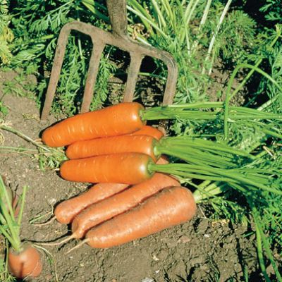 Carrot, Resistafly F1