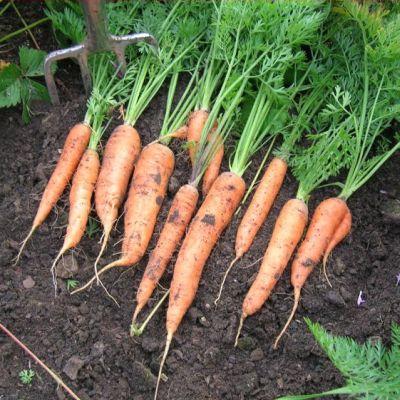 Carrot, Nantes 2 15g pack