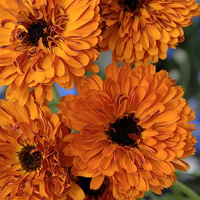 Calendula, Touch of Red