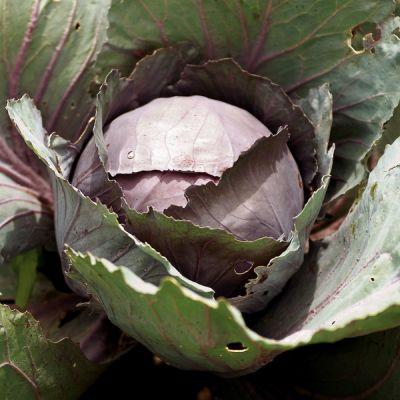 Cabbage, Marner Lagerrot (autumn/winter cabbage)