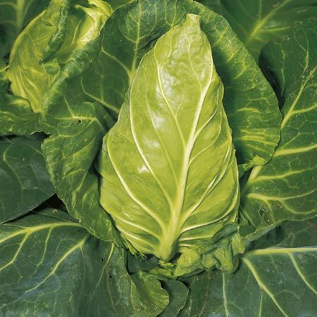 Cabbage, Greyhound (summer cabbage)