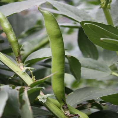 Beans - Broad Beans 'Super Aquadulce'