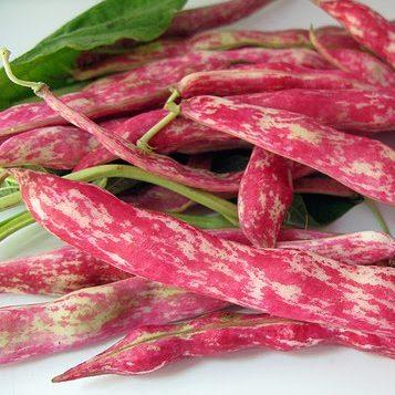 Beans for Drying - Barlotta Lingua Di Fuoco