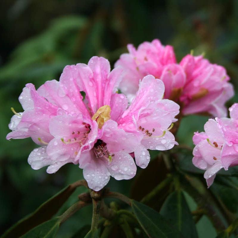 Rhododendron fulvum