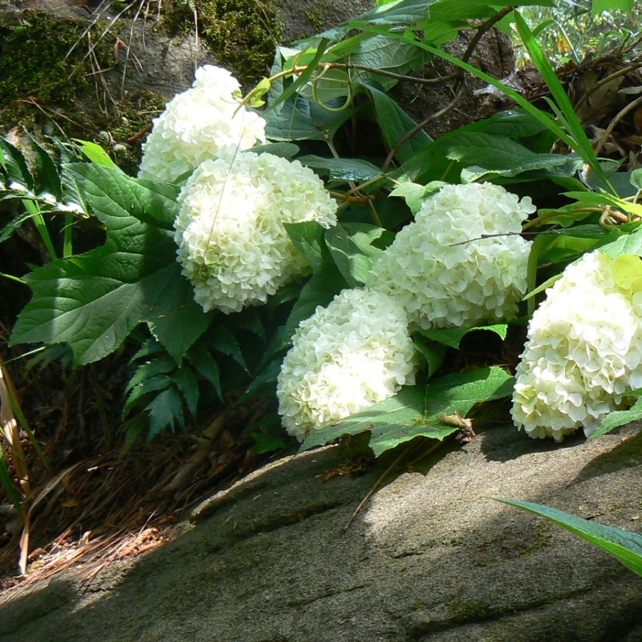 Hydrangea quercifolia 39 harmony 39 deelish garden centre for Hydrangea quercifolia