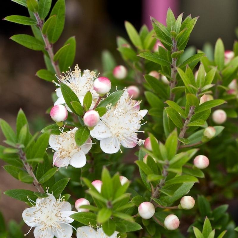 Myrtus communis 'Tarentina'