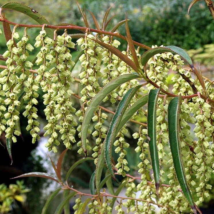 Stachyurus salicifolia