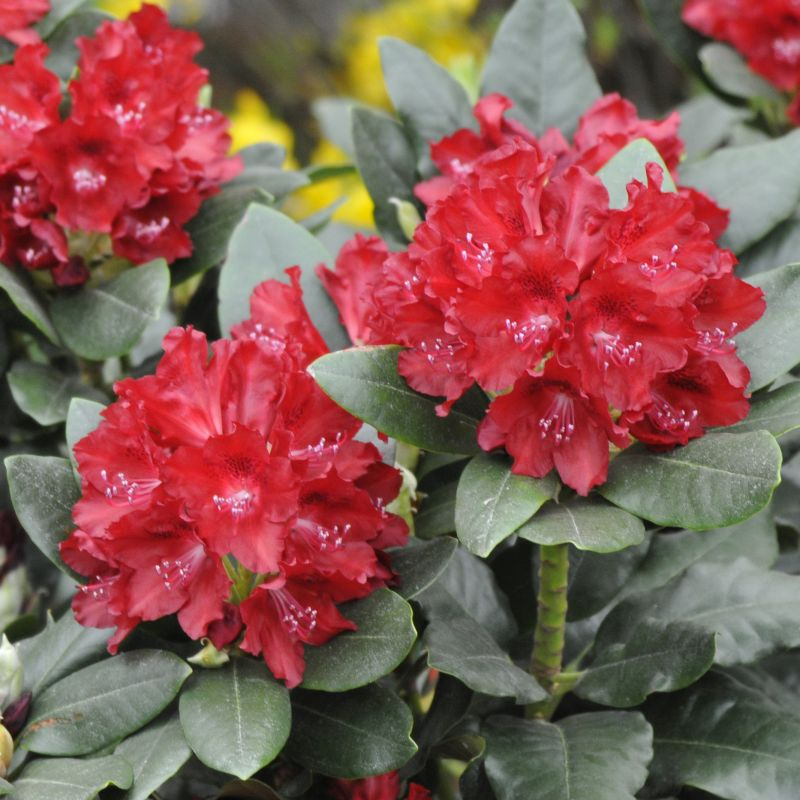 Rhododendron 'Cherry Kiss'