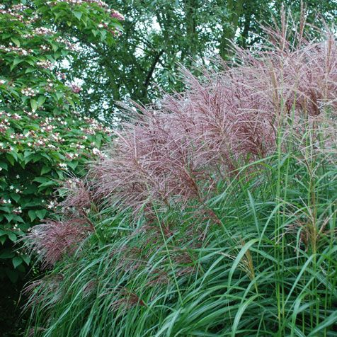 miscanthus sinensis 39 ferne osten 39 japanese silver grass. Black Bedroom Furniture Sets. Home Design Ideas