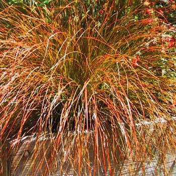 Carex testacea
