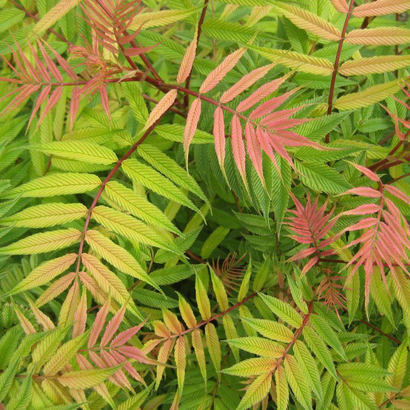Sprbaria sorbifolia 'Sem'