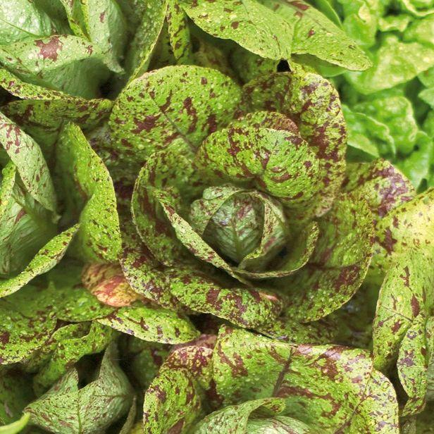 Lettuce & Salad Mixtures