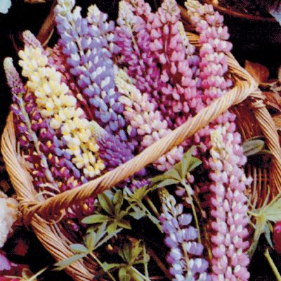 Lupin Mixed