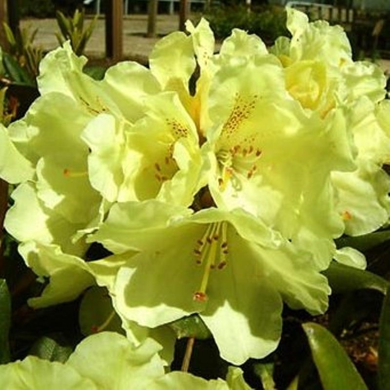 rhododendron 39 millennium gold 39 compact variety deelish. Black Bedroom Furniture Sets. Home Design Ideas