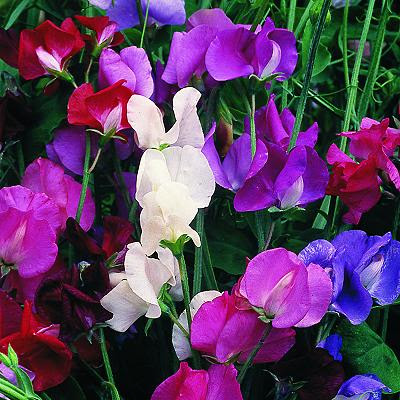 Sweet Pea, Scented Collection