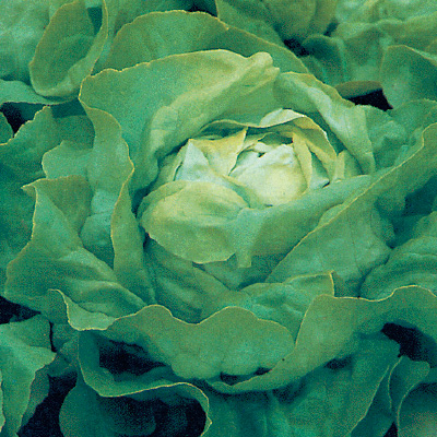 Lettuce 'Winter Crop'