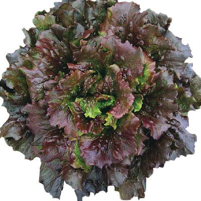 Lettuce 'Relay'