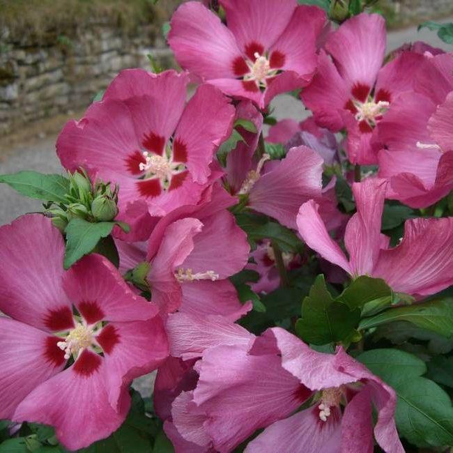 hibiscus syriacus 39 woodbridge 39 deelish garden centre. Black Bedroom Furniture Sets. Home Design Ideas
