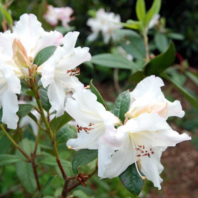 Rhododendron 'Lady Alice Fitzwilliam'