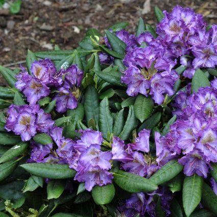 Rhododendron 'Lupinenberg Laguna'