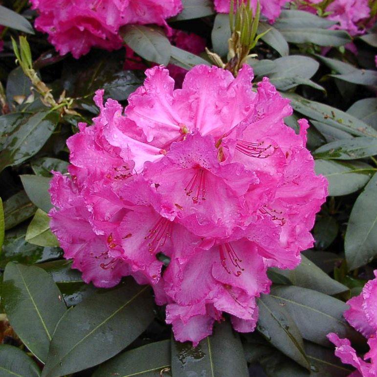Rhododendron 'Walkure'