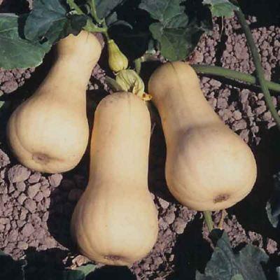 Pumpkins & Gourds Butternut