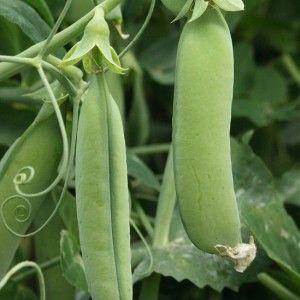 Peas - 'Karina'