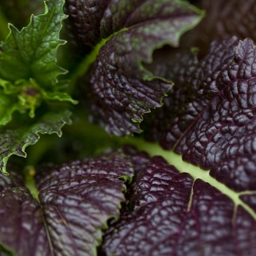 Mustard Greens – Giant Red