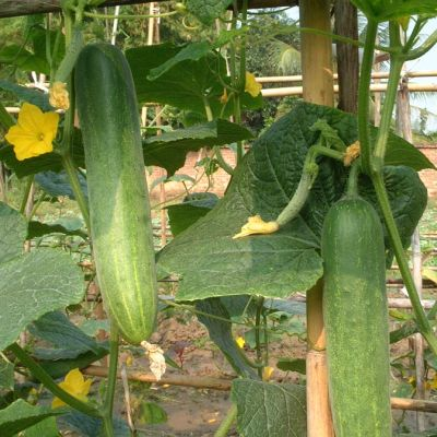 Cucumber, Melen F1 (Greenhouse)