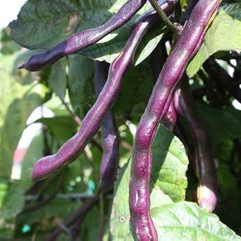 Beans - Climbing French 'Blauhilde'